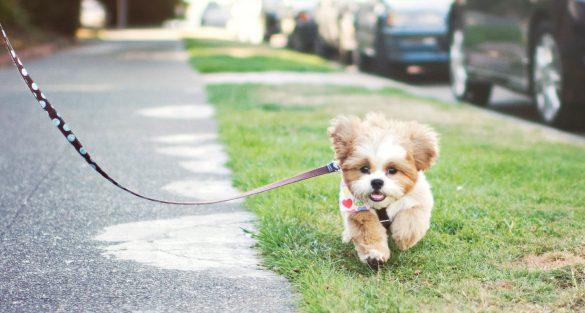 puppy walk