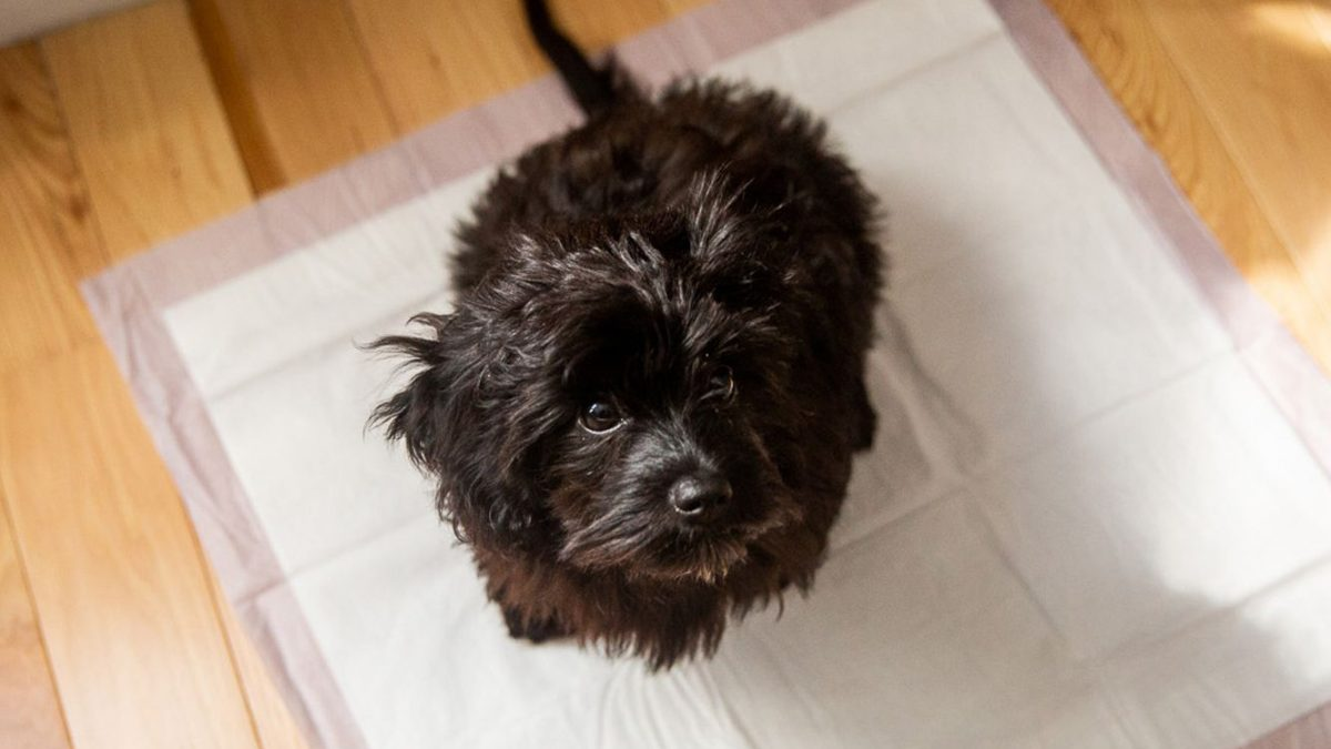 5 Helpful Tips on How to Potty Train your Dog