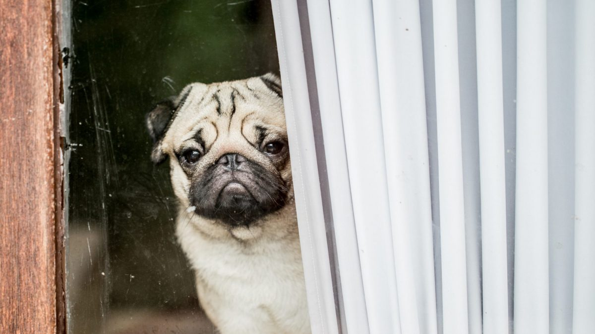 Separation Anxiety in Dogs: Symptoms, Causes, and Prevention